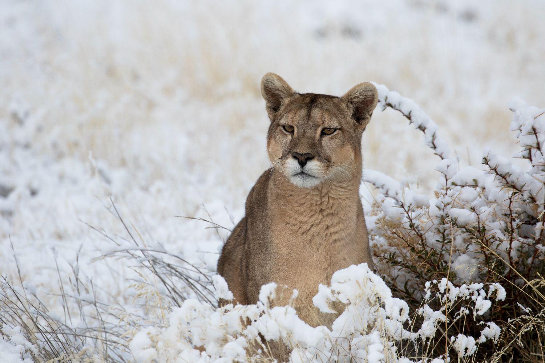 Puumad - jäämägede legendid / Pumas - Legends of the Ice Mountains