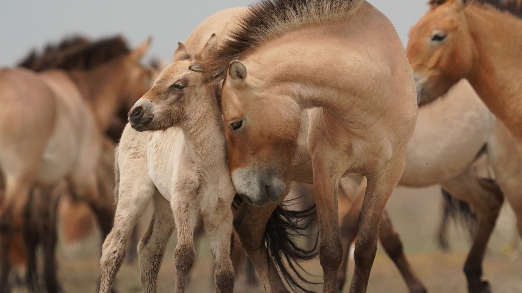 Metshobused - pusta lugu / Wild Horses - A Tale from the Puszta